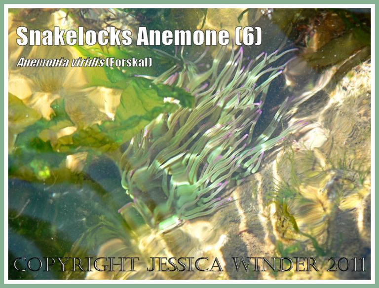 Sea anemone in sunlit water: A Snakelocks Anemone with tentacles wafting to and fro with the rhythmn of the waves in a sun-lit rock pool at Ringstead Bay, Dorset, UK - part of the Jurassic Coast (6)