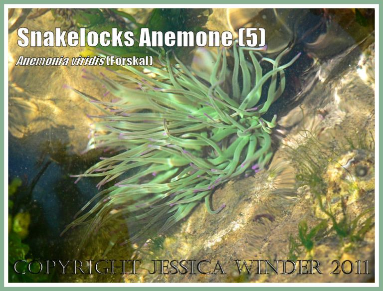 Snakelocks Anemone with tangled tentacles as the sun-lit sea water ripples to and fro with the waves in a rock pool at Ringstead Bay, Dorset, UK - part of the Jurassic Coast (5)