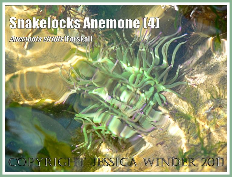 Anemone tentacles: A Snakelocks Anemone with tousled tentacles as sun-lit water ebbs and flows in a rock pool at Ringstead Bay, Dorset, UK - part of the Jurassic Coast (4)