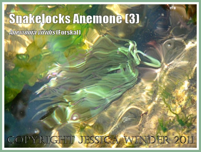 Tidepool sea anemone: A Snakelocks Anemone with reflections of rippling sun-lit water in a rock pool with free-floating green seaweed at Ringstead Bay, Dorset, UK - part of the Jurassic Coast (3)