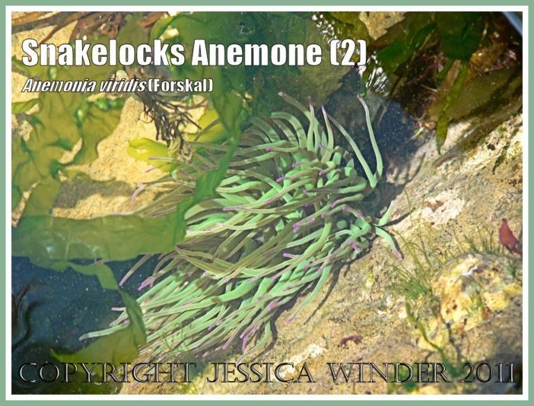 Anemonia viridis (Forskal): A Snakelocks Anemone in the sun-dappled sea water of a rock pool with free-floating green seaweed at Ringstead Bay, Dorset, UK - part of the Jurassic Coast (2)