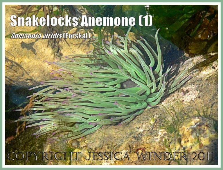 Snakelocks Anemone underwater: A Snakelocks Anemone in the sun dappled seawater of a rock pool at Ringstead Bay, Dorset, UK - part of the Jurassic Coast (1)