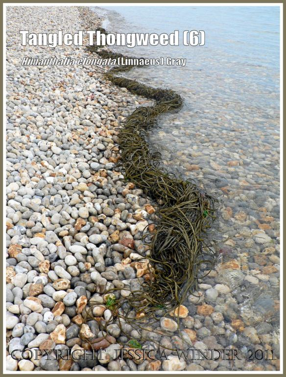 Common british seaweed (Thongweed) washing up on shingle: A sinuous roll of tangled, cast straps of Thongweed, being washed ashore onto a shingle beach along the Jurassic Coast, Dorset, UK (6)