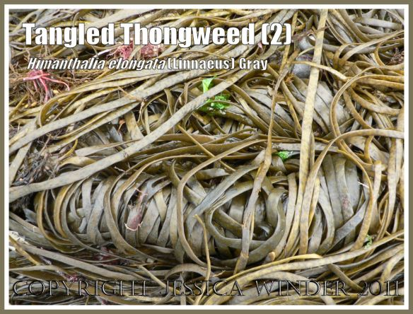 Coiled strands of seaweed on the beach: A coiled skein of Thongweed washed ashore on a shingle beach on the Jurassic Coast, Dorset, UK (2)