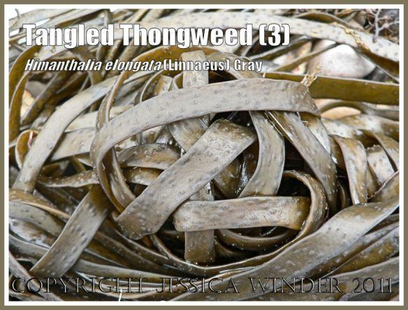 Natural knot in flotsam seaweed on the seashore: A natural knot arrangement of Thongweed washed onto a Jurassic Coast shingle beach, Dorset, UK (3)