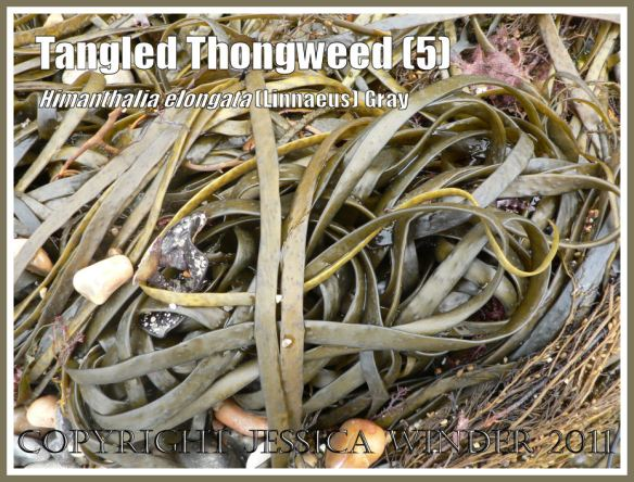 Knotted Thongweed in a pile of seaweed washed onto a Jurassic Coast shingle beach, Dorset, UK (5)