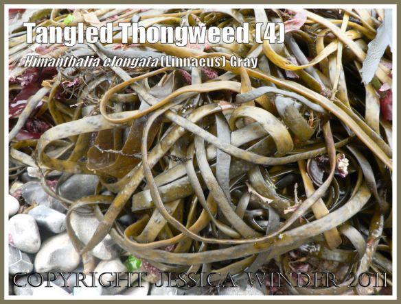 Himanthalia elongata fertile straps washed ashore: A loosely wound bundle of Thongweed washed up on a shingle beach, Jurassic Coast, Dorset, UK (4)