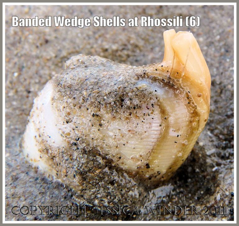 Banded Wedge Shell alive showing siphons: Living Banded Wedge Shell with the siphon tubes fully extended on the lower seashore at Rhossili, Gower, South Wales, U.K. (6)
