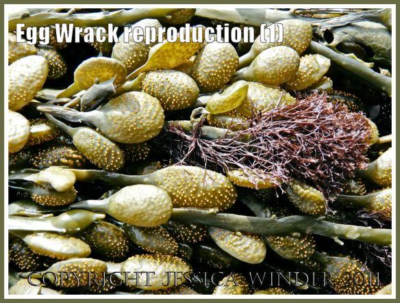 Egg Wrack or Knotted Wrack: Ripe receptacles on Egg Wrack, Ascophyllum nodosum (L.) La Jolie, at Spaniards Rocks, Rhossili, Gower, West Glamorgan, UK (1)