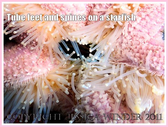 Tube feet on a starfish: Starfish (sea star), with extended tube feet and spiny pink skin, eating a mussel (1)