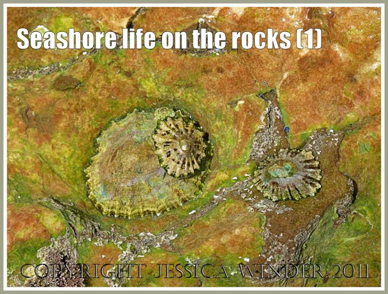 British seashore creatures: Limpets living in a rock pool on Worms Head causeway, Rhossili, Gower, South Wales, U.K. (1)
