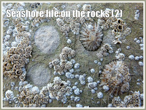 Worms Head causeway limpets and barnacles: Limpets and Acorn Barnacles living on Carboniferous Limestone rock exposed at low tide on the Worms Head Causeway, Rhossili, Gower, South Wales, U.K. (2)
