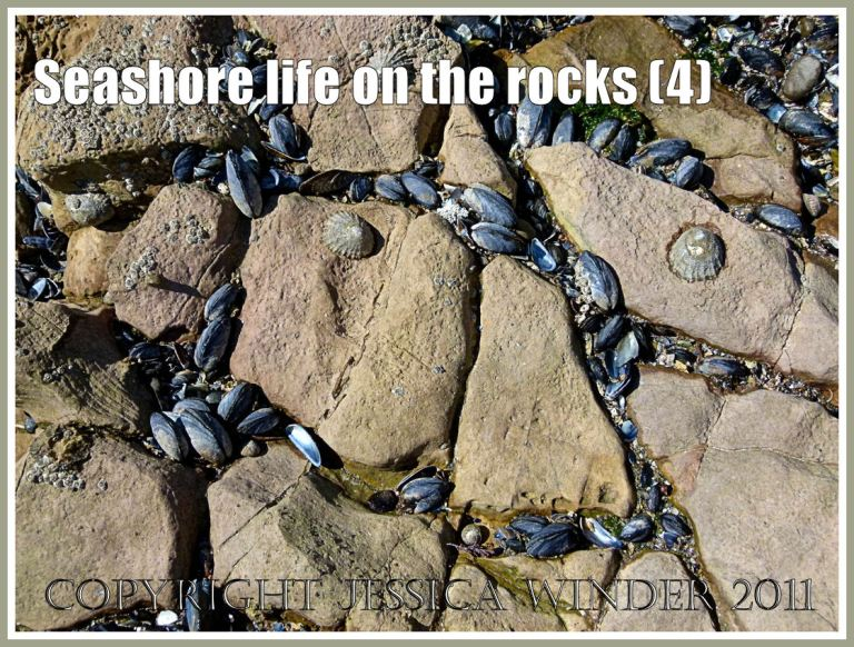 Mussels growing on low shore Carboniferous Limestone: Common Edible Mussels growing in cracks and crevices on Carboniferous Limestone of the Worms Head Causeway, Rhossili, Gower, South Wales, U.K. (4)