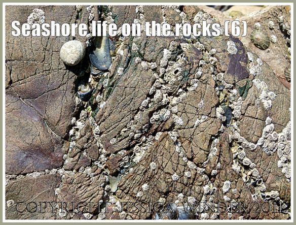 Barnacles and winkles on textured rock surface: Acorn barnacles and edible winkles on the textured rock surface of Carboniferous Limestone exposed at low tide, Worms Head Causeway, Rhossili, Gower, South Wales, U.K. (6)