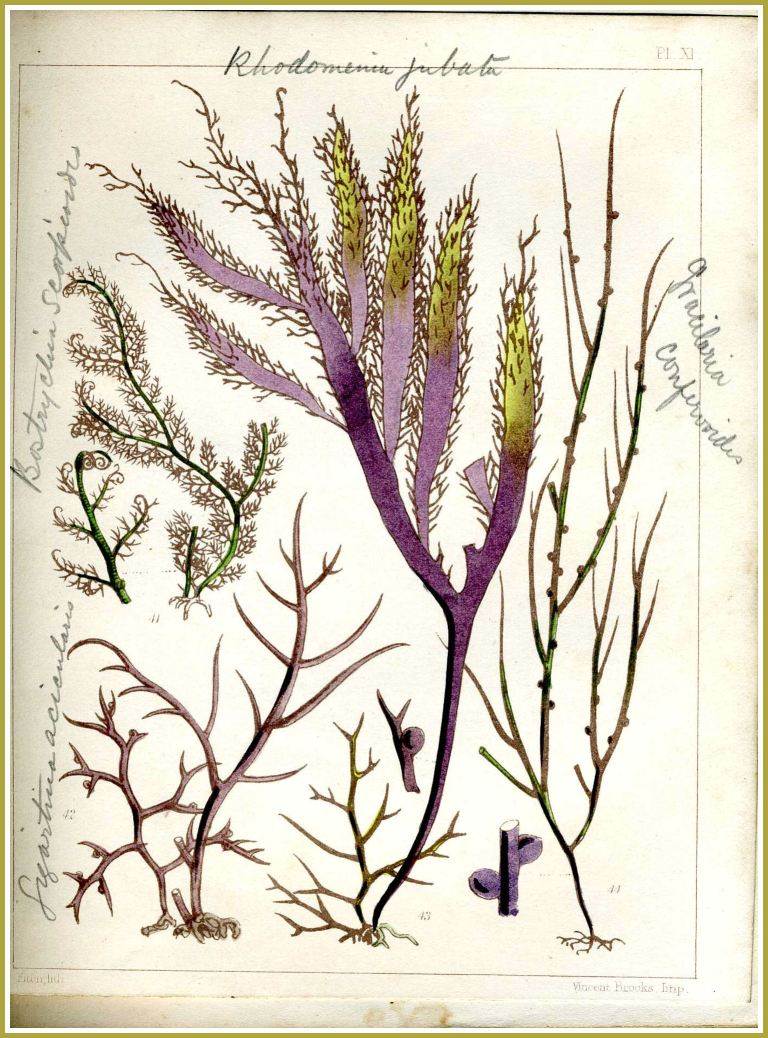 "19th Century seaweed picture: Illustration of Gracilaria confervoides seaweed (shown on far right of the page) from the book ""Popular History of British Seaweeds"" by the Rev. Landsborough published in1857 (7)"