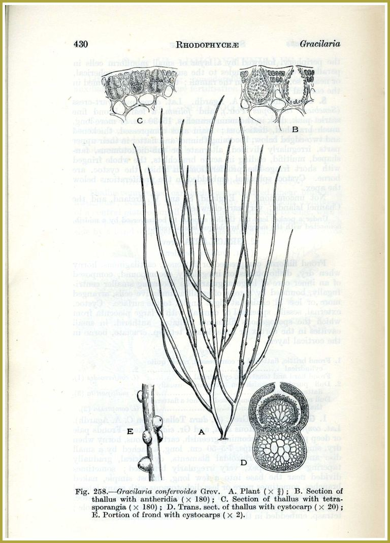 "Botanical drawing of seaweed Gracillaria confervoides: Illustration of Gracilaria confervoides (verrucosa) from the book ""Handbook of the British Seaweeds"" by Lily Newton published in 1931 (8)"