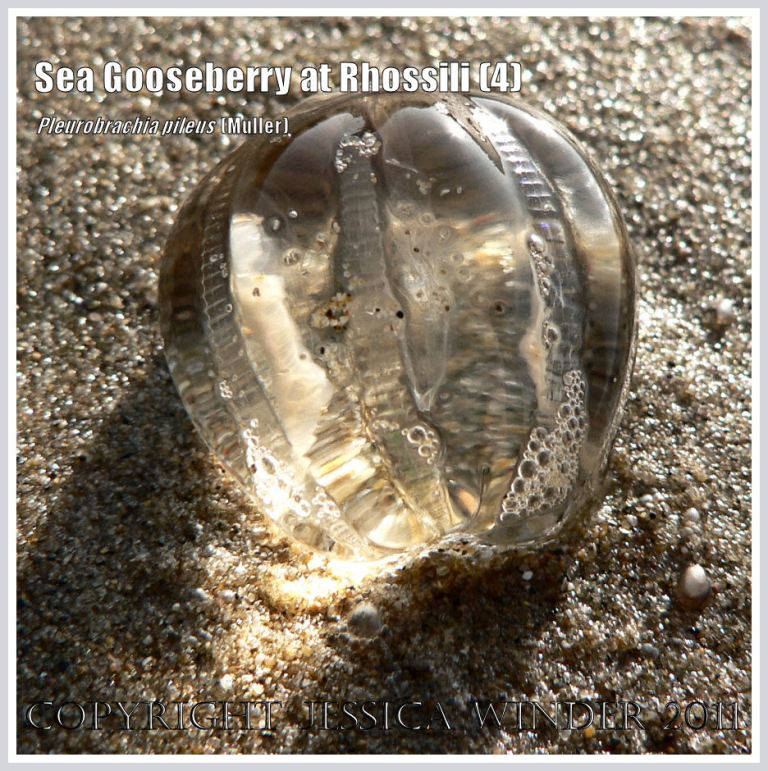 Sea Gooseberry, Pleurobrachia pileus (Muller), a small transparent jelly-like seashore creature, washed up on the sand with the sun shining through it, at Rhossili Bay, Gower, South Wales, UK (4)