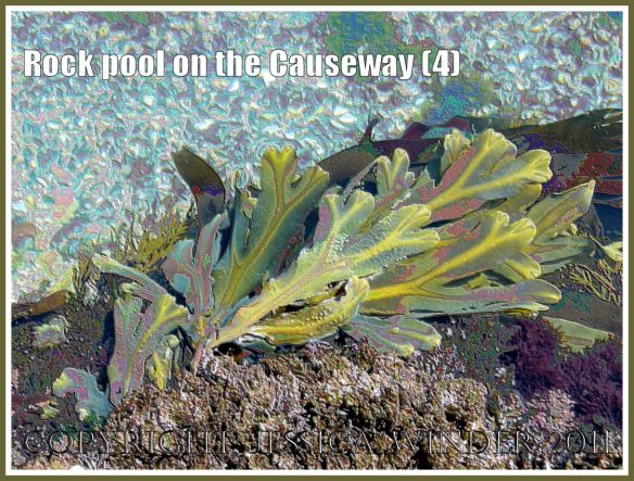 Rock pool with Serrated or Toothed Wrack and Coral Weed on Worms Head Causeway, Gower, South Wales, UK - a digitally modified photograph (4)
