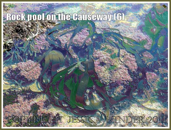 Rock pool with a large frond of kelp amongst the coral weed on Worms Head Causeway, Gower, South Wales, UK - a digitally modified photograph (6)