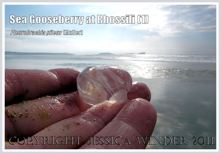 Sea Gooseberry. Pleurobrachia pileus (Muller), a small transparent jelly-like seashore creature, held in my hand on the beach at Rhossili Bay with Worms Head in the background, Gower, South Wales, UK (1)