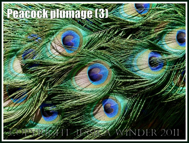 Peacock tail feathers: Peacock plumage pattern with brightly coloured feathers (3)