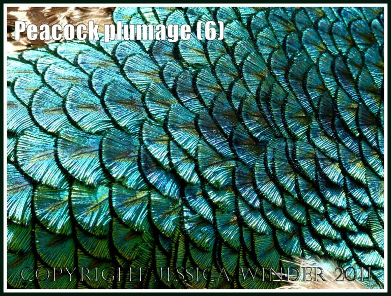 Pattern of patterned feathers: Peacock plumage pattern with brightly coloured feathers arranged like fish scales across the back (6)