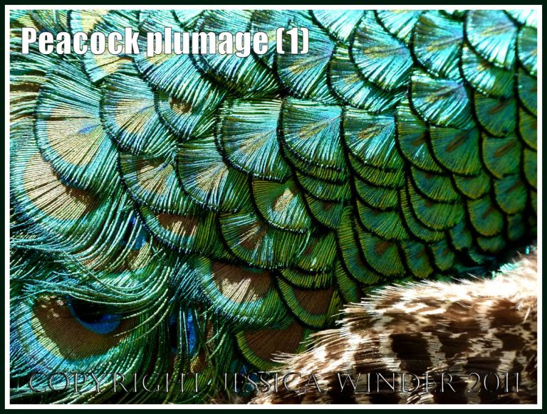 Peacock plumage pattern with brightly coloured feathers (1)
