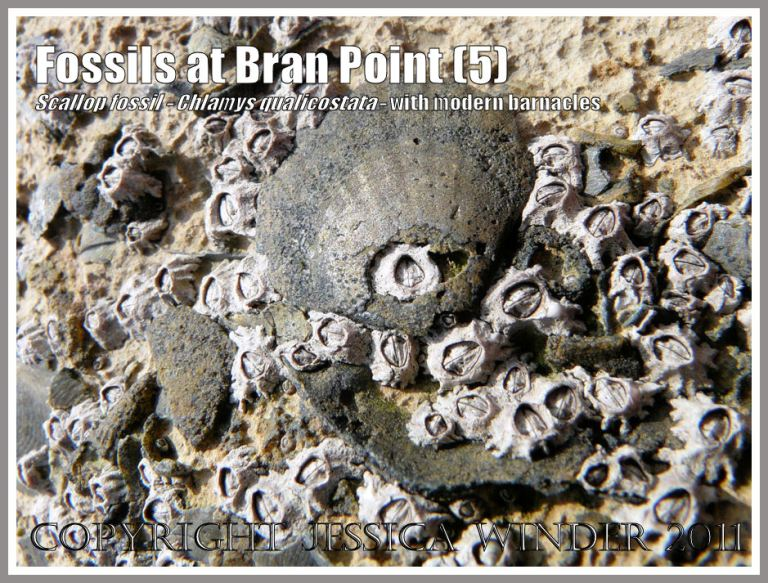 Jurassic Coast fossils: Fossil scallop, Chlamys qualicostata, on the surface of rocks, surrounded by modern day growing acorn barnacles, at Bran Point, Ringstead Bay, Dorset, UK, on the Jurassic Coast (5)