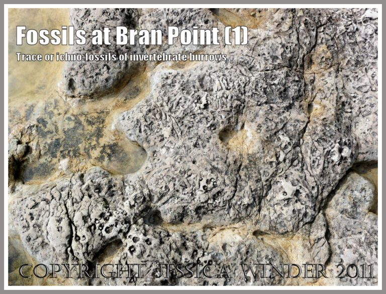 Trace fossils, also called ichnofossils, of tunnels and burrows made by small marine invertebrate creatures like crabs, million years ago in rocks at Bran Point, Ringstead Bay, Dorset, UK, on the Jurassic Coast (1)