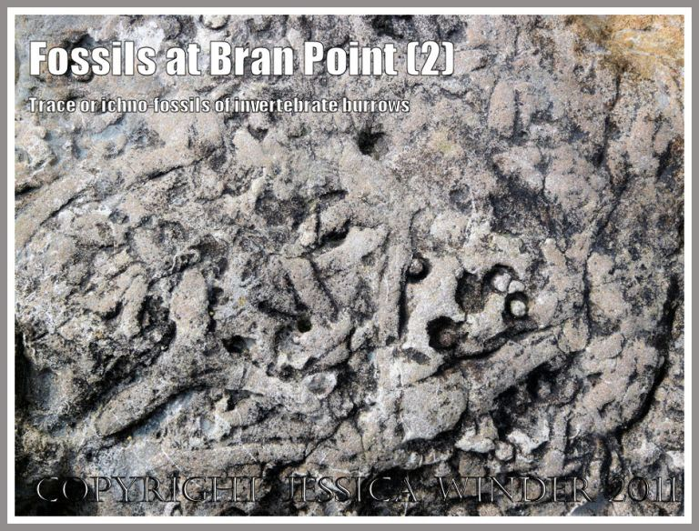 Trace fossils, also called ichnofossils, of tunnels and burrows made by small marine invertebrate creatures like crabs millions of years ago, in rocks at Bran Point, Ringstead Bay, Dorset, UK, on the Jurassic Coast (2)