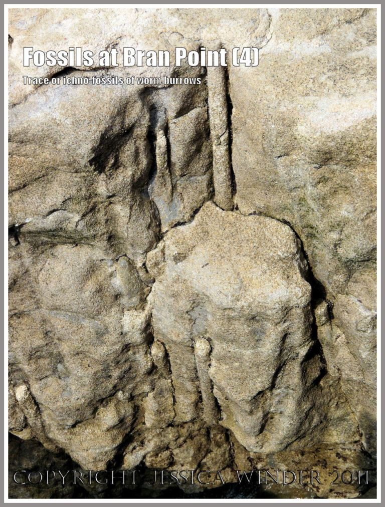 Fossil worm burrows: Trace fossils, also called ichnofossils, of tunnels and burrows made by marine worms millions of years ago, in the Arenicolites Beds in rocks at Bran Point, Ringstead Bay, Dorset, UK, on the Jurassic Coast (4)