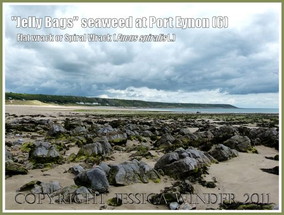 View of Port Eynon looking north-east, showing Fucus spiralis drying out on rocky outcrops and sand exposed at low tide, Gower, South Wales, UK (6)