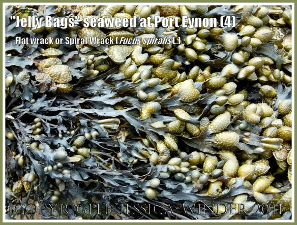 """Jelly Bags seaweed drying out between tides: Fucus spiralis Linnaeus (also known as """"Jelly Bags"""" seaweed, Spiral Wrack, and Flat Wrack) showing the swollen receptacles at the ends of the drying fronds, on Port Eynon beach at low tide, Gower, South Wales, UK (4)"""