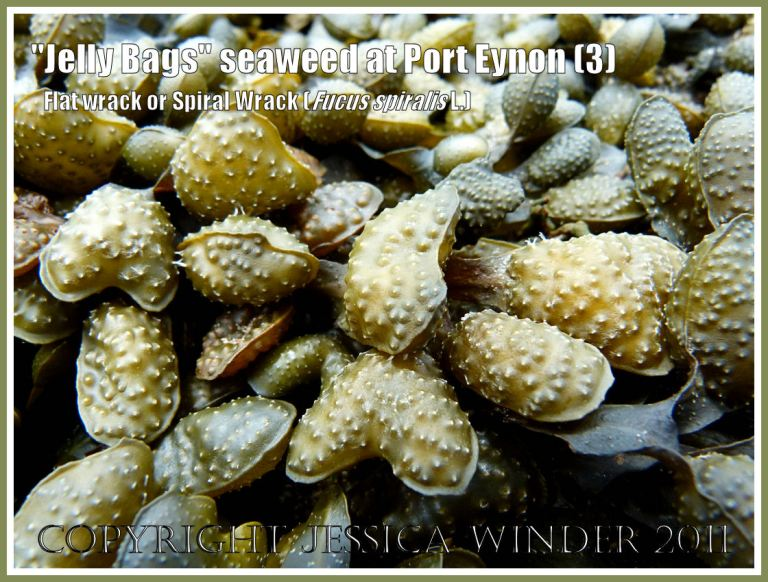 """Fucus spiralis Linnaeus (also known as """"Jelly Bags"""" seaweed, Spiral Wrack, and Flat Wrack) showing a close-up of the swollen receptacles at the ends of the fronds, on Port Eynon beach, Gower, South Wales, UK (3)"""