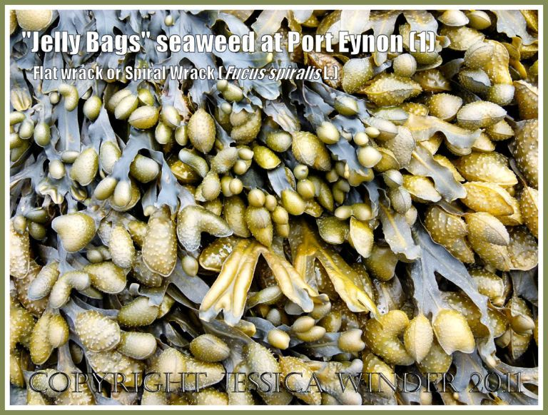 """""""Jelly Bags"""" seaweed: Fucus spiralis Linnaeus (also known as """"Jelly Bags"""" seaweed, Spiral Wrack, and Flat Wrack) showing numerous swollen reproductive bodies at the ends of the fronds, on Port Eynon beach, Gower, South Wales, UK (1)"""