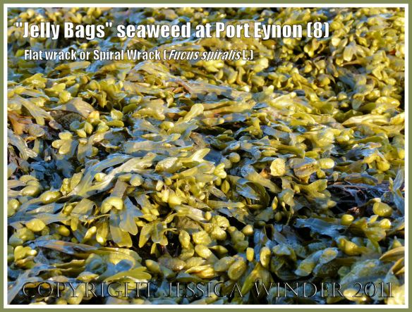 """Seaweed reflecting the setting sun at Port Eynon: Detail of Fucus spiralis L. (Spiral Wrack, Flat Wrack, or """"Jelly Bags"""") wet and glowing golden in the setting sun, at Port Eynon, Gower, South Wales, UK (8)"""