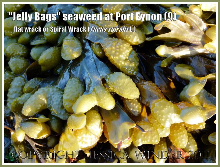 """Close-up of Fucus spiralis L. (Spiral Wrack, Flat Wrack, or """"Jelly Bags"""") wet and glowing golden in the setting sun, at Port Eynon, Gower, South Wales, UK (9)"""