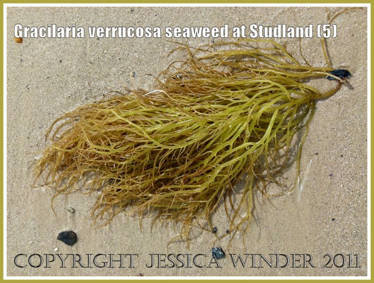Green and pink filamentous seaweed at Studland: Gracilaria verrucosa seaweed with no reproductive cystocarps on the fronds, washed up on the strandline at Studland Bay, Dorset, UK, on the Jurassic Coast (5)