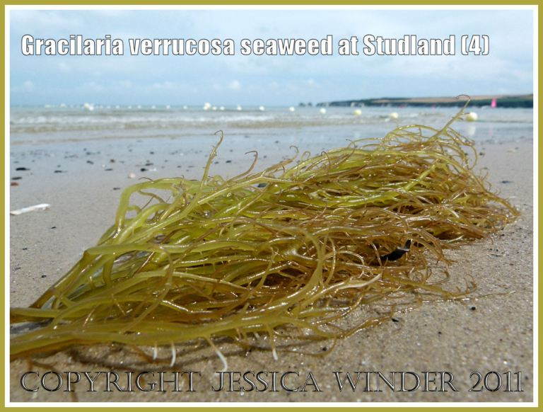 Common British seaweeds: Gracilaria verrucosa seaweed with no reproductive cystocarps on the fronds, washed up on the strandline at Studland Bay, Dorset, UK, on the Jurassic Coast (4)