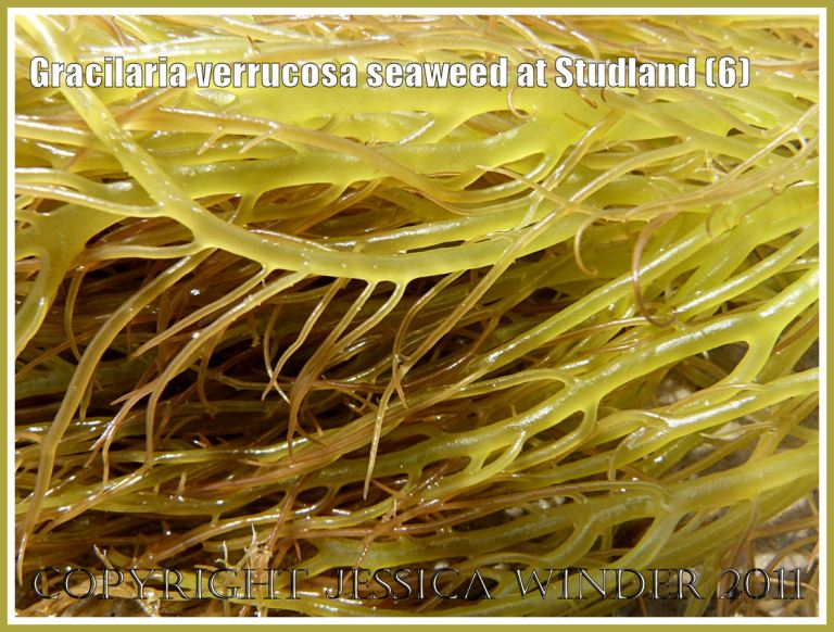 Yellow-green seaweed with many branches: Gracilaria verrucosa seaweed close-up without reproductive cystocarps on the fronds, washed up on the strandline at Studland Bay, Dorset, UK, on the Jurassic Coast (6)