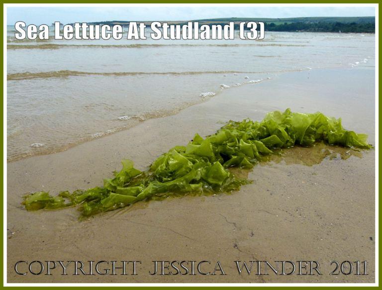 Sea Lettuce or Green Laver seaweed, Ulva lactuca Linnaeus, on the sand at Studland Beach, Dorset, UK, on the Jurassic Coast, 15th July 2011 (3)