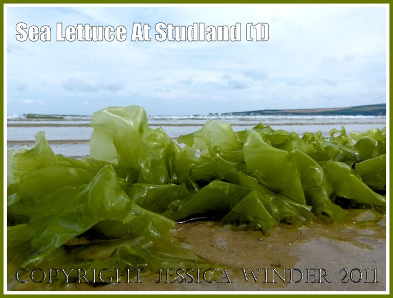 Sea Lettuce or Green Laver seaweed, Ulva lactuca Linnaeus, on the sand at Studland Beach, Dorset, UK, on the Jurassic Coast, 15th July 2011 (1)
