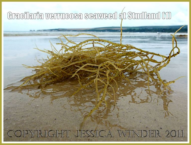 Studland Bay seaweed: Gracilaria verrucosa seaweed with reproductive cystocarps on the fronds, on the strandline at Studland Bay, Dorset, UK, on the Jurassic Coast (1)