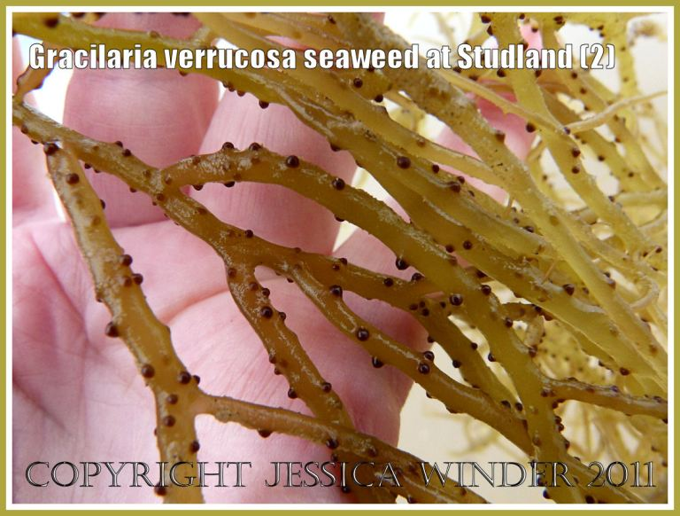 Studland seaweed close-up: Gracilaria verrucosa seaweed - close-up showing reproductive cystocarps on the fronds, from the strandline at Studland Bay, Dorset, UK, on the Jurassic Coast (2)