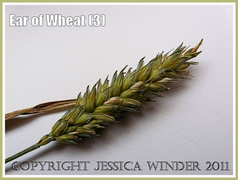 Wheat ear close-up photograph showing arrangement of the seed grains that are ripening but not yet ready to harvest (3)