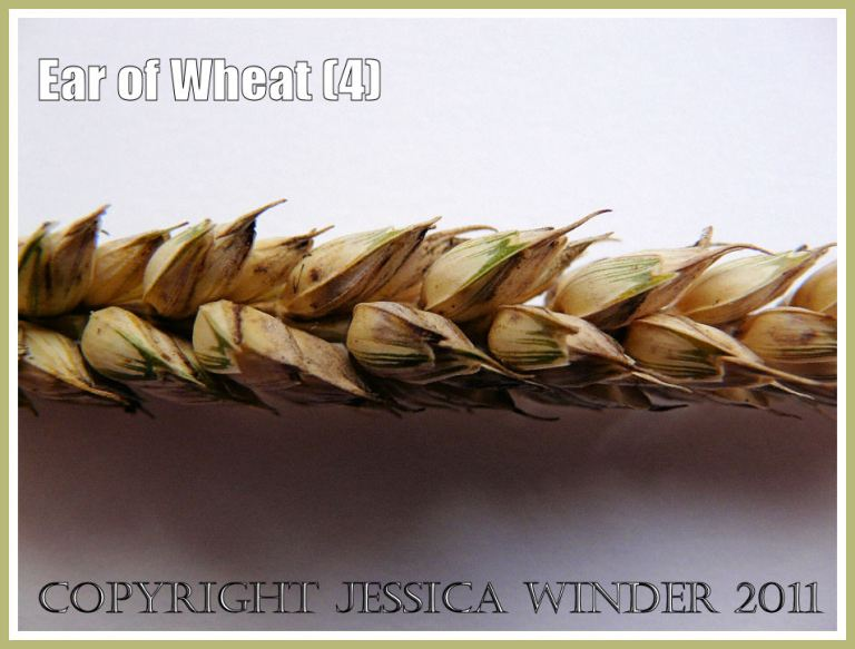 Wheat ear from another angle showing that the rows of seeds are two-deep - close-up photograph showing arrangement of the seed grains (4)