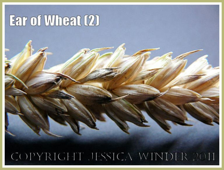 Wheat ear close-up photograph showing arrangement of the ripe seed grains that have turned to yellow (2)