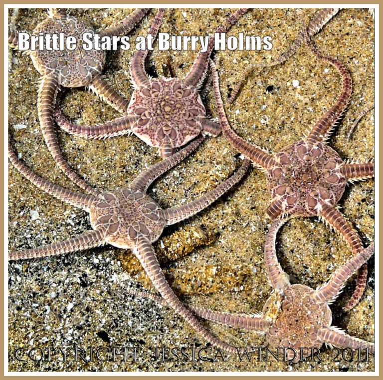Living Brittle Stars, Ophiura ophiura (Linnaeus), washed ashore at Burry Holms in Rhossili Bay, Gower, South Wales, UK (1)