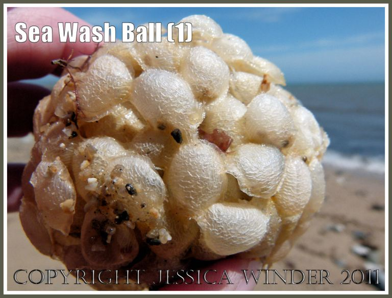 Sea Wash Ball, empty egg cases of the marine gastropod mollusc called the Common Whelk (Buccinum undatum L.) (1)