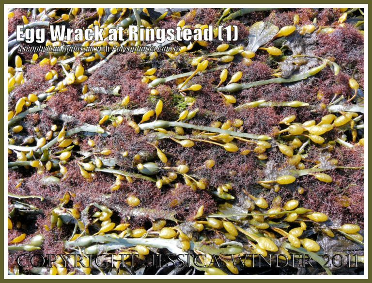 Egg or Knotted Wrack, Ascophyllum nodosum (Linnaeus) Jolie, with attached tufts of the red seaweed, Polysiphonia lanosa (Linnaeus) Tandy, at Ringstead Bay, Dorset, UK - part of the Jurassic Coast (1)